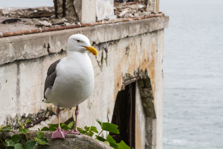 alcatraz: Horizontal shot of a seagull standing on the rail on Alcatraz Island with the Social Hall (Officers Club) in background Stock Photo