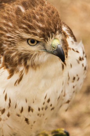 Upper body, head side view of a captive red tailed hawk, falconry