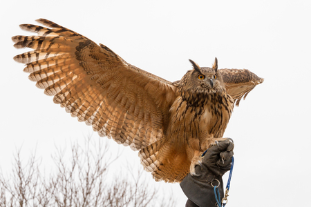 wingspan: Eurasian Eagle Owl (Bubo Bubo) in captivity spreading wings perched on a falconers hand, falconry