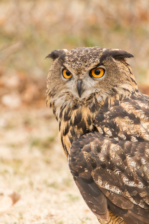 Upper body, head front view of Eurasian Eagle Owl (Bubo Bubo) in captivity, falconry