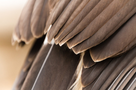 Close up feather texture of a captive harris hawk, falconry