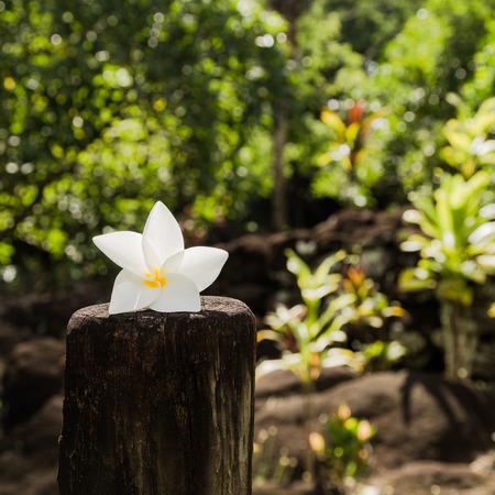 Tiare (흰 치자 나무)는 프랑스 령 폴리네시아의 상징적 인 꽃입니다. 스톡 콘텐츠