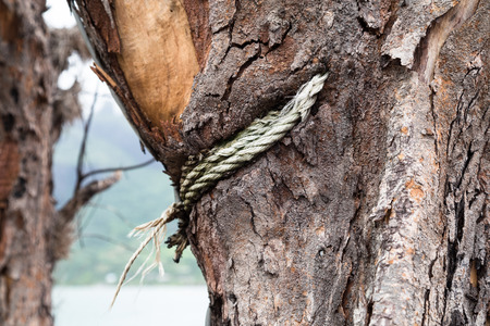 time bound: Rope ingrown into the tree trunk over time. It was bound over the young tree and now it is inside of grown up. Stock Photo