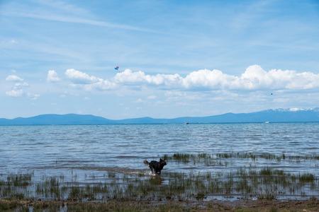lake tahoe: Black dog running in shallow water at Lake Tahoe beach