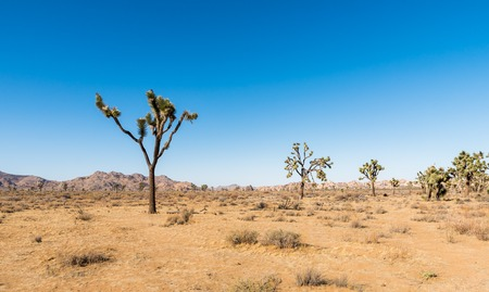 joshua tree national park: Yucca trees in Joshua Tree National Park
