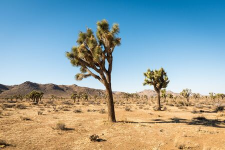 Yucca trees in Joshua Tree National Park