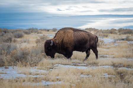 American Bison in Antelope Island State Park