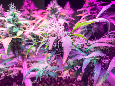 Blooming marijuana growing under lamps with ultraviolet light