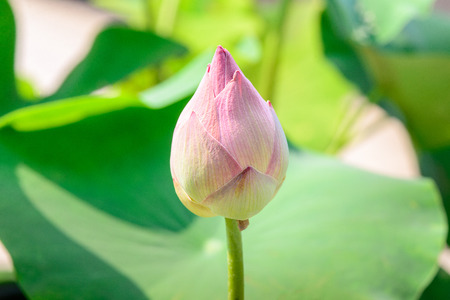 effloresce: Lotus bud