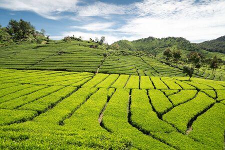 Green tea garden with blue sky, Indonesia