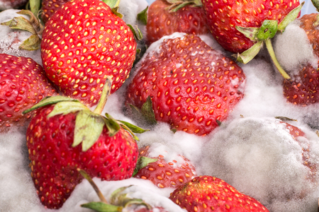 Closeup red ripe strawberry with gray mold or fungus, unhealthy fruit Zdjęcie Seryjne