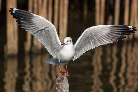 migratory: A migratory Seagull bird Stock Photo