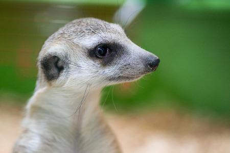 Meerkat portrait of its head watching around very alert, look wide-awake. Close up of a meerkat Stock Photo