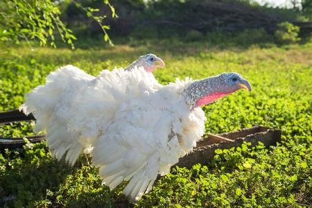 two turkey