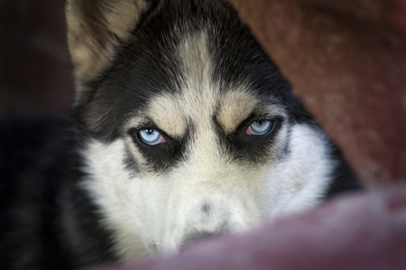 Blue eyes of Siberian Husky dog, wolf eyes looking angry or expectant out of the dark background. Mad and beautiful Siberian Husky dog