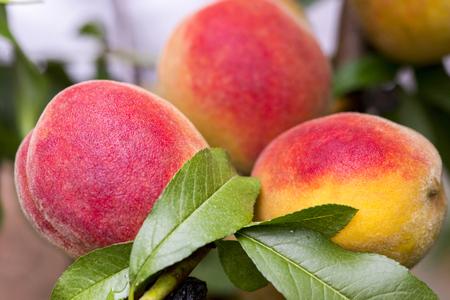 Fresh peach tree. Peaches ripe for picking in a peach orchard. Ripe sweet peach fruits growing on a peach tree branch