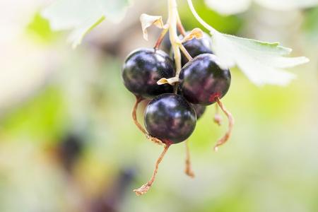 Blackcurrants on the bush branch, harvest of blackcurrants on the branch. Branch of black currant in the garden