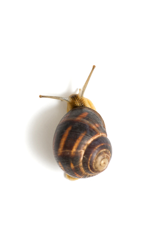 The garden snail in front of white background. Snail close up against white, view from above