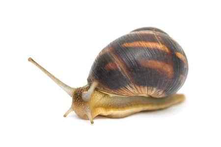 Snail isolated on white. Garden snail escapes. white background. Crawling snail isolated on a white background Imagens