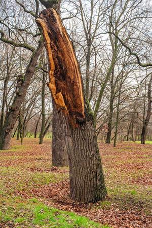 Big broken tree trunk stump. Broken tree stump in the forest or in the park. Broken tree trunk.