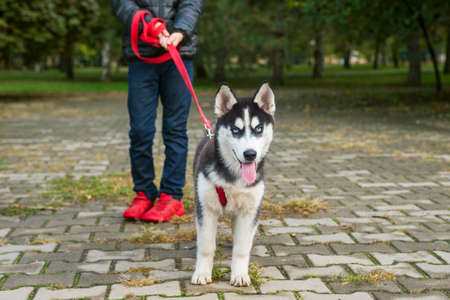 A child walks with a husky dog in a park. Obedient pet with his owner. Walking of pets.