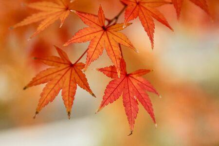 日本を紅葉します。