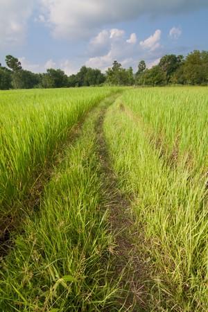 Rice grain rice tract. photo