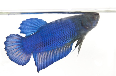 betta: Fighting fish