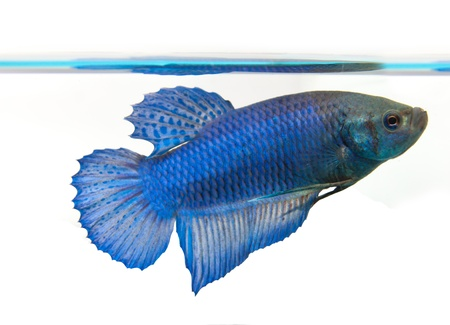 Siamese fighting fish Stock Photo - 8724743