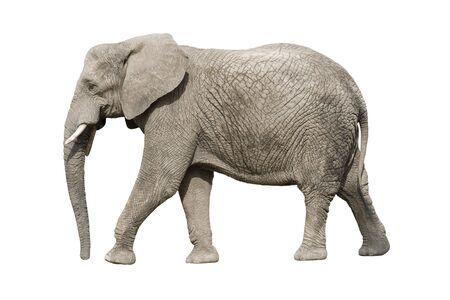 elefante: Elefante africano