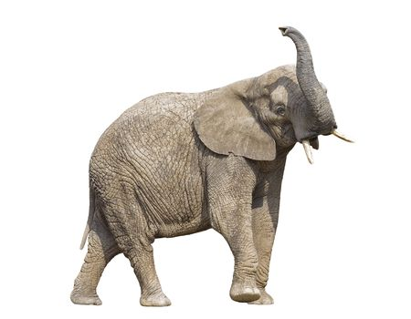 elephant angry: African elephant