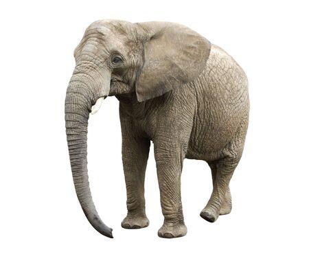 African elephant Stock Photo - 6755359