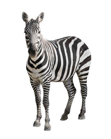 Zebra geïsoleerd op wit Stockfoto