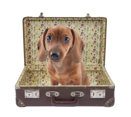 ダックスフンド (子犬) クリッピング パスとヴィンテージのスーツケースの中に座っています。 写真素材