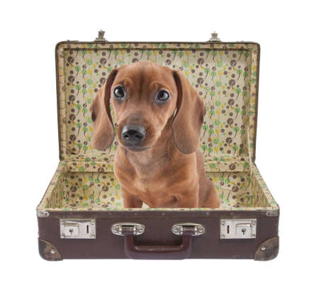 Dachshund puppy sits in vintage suitcase with clipping path Stock Photo