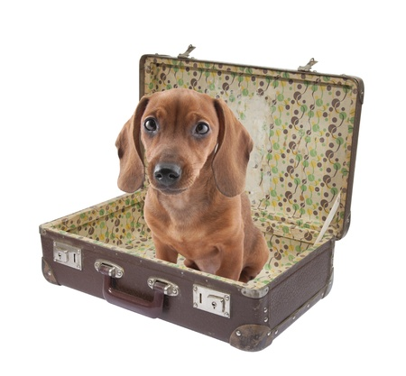 open suitcase: Dachshund puppy sits in vintage suitcase with clipping path Stock Photo