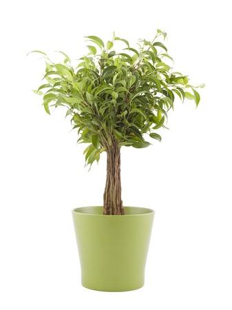 Ficus Benjamin en bote verde con trazado de recorte