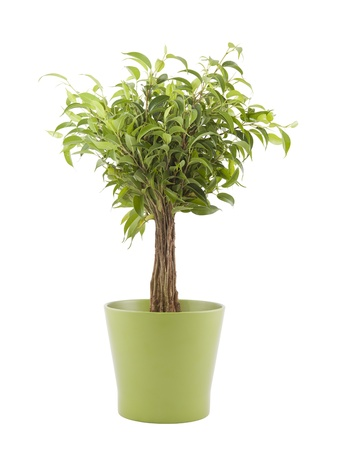 Potted plants: Ficus Benjamin in green pot with clipping path Stock Photo