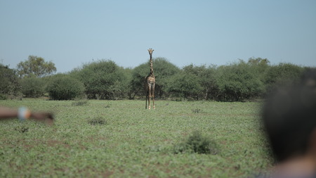 Beautiful landscape, giraffe walking, running on a green field in Africa on a sunny day.