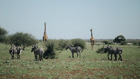 Two giraffes and a herd of zebras walk along the savannah. Back view
