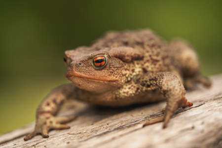 Side close up shot of European toad (Bufo bufo) sitting on a tree log isolated on bright green background