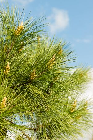 pinetree: Young pine cones growing on a pine tree at the end of winter. Stock Photo