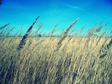 alargamiento: Primavera campo con el grano