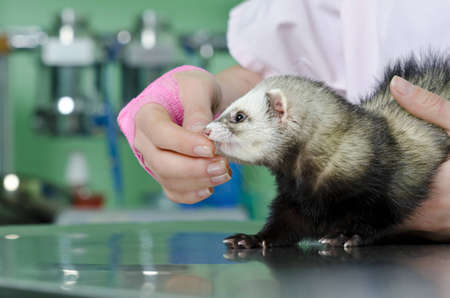 young doctor holding a small marten and making health examination