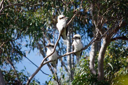 Three Australian kookaburras perched in tree