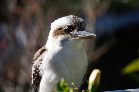 Australian native kookaburra close up