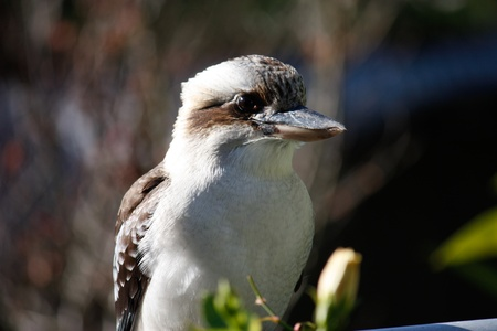 Australian native kookaburra close up Stock Photo - 9665667