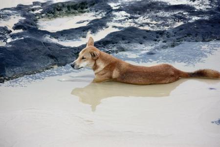 Australian wild dingo in seaside rock pool at Fraser Island Stock Photo