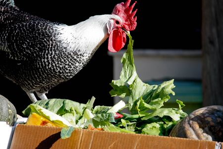 Chicken perched on box eating lettuce