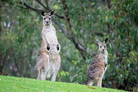 Pair of kangaroos in rain standing in grass field Stock Photo - 13742923